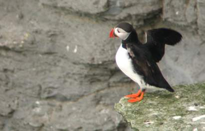 Puffin at Marwick Head, RSPB Nature Reserve
